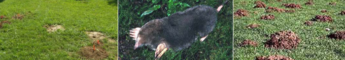 Mole Trapping Northern KY