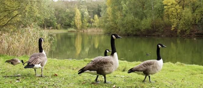 Ohio Canada Geese