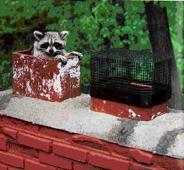 Raccoon removal Erlanger, KY