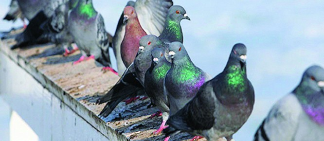 Pigeons on rail