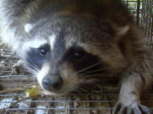 Raccoon Removal Cold Spring, KY