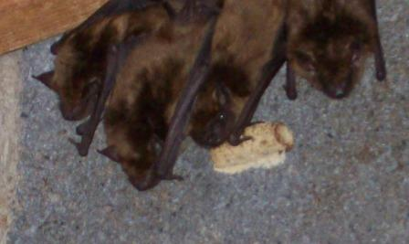 Bat Removal in Cold Spring, KY