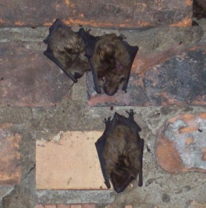 Bat Problem Northern KY