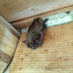 Bat Problem in Attic