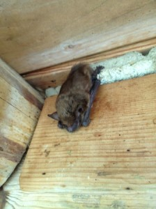 Northern KY Bat Removal
