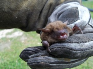 Northern Kentucky Bat Removal