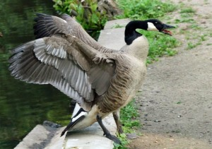 Florence, KY Goose Control - Tri-State Wildlife Management