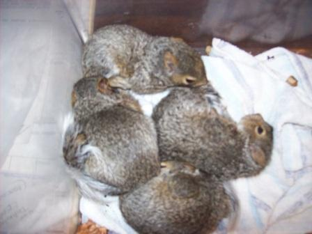 Tri-State Wildlife Management Cold Spring KY Squirrel Removal