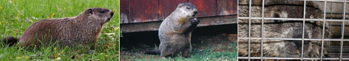 Ft. Thomas, KY Groundhog Removal - Tri-State Wildlife Management
