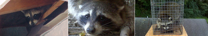 Ft. Mitchell, KY Raccoon Removal