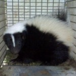 Tri-State Wildlife Management Skunk Removal Florence, KY