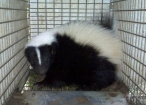 Tri-State Wildlife Management Skunk Cold Spring KY