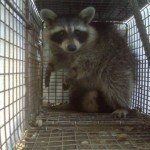 raccoon removal Highland Heights, KY