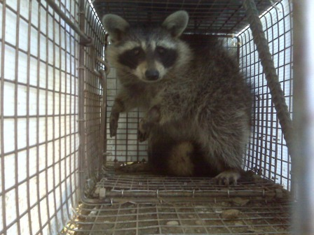 For raccoon removal in...