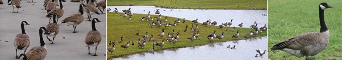 Ohio Canada Goose Removal Tri-State Wildlife Management